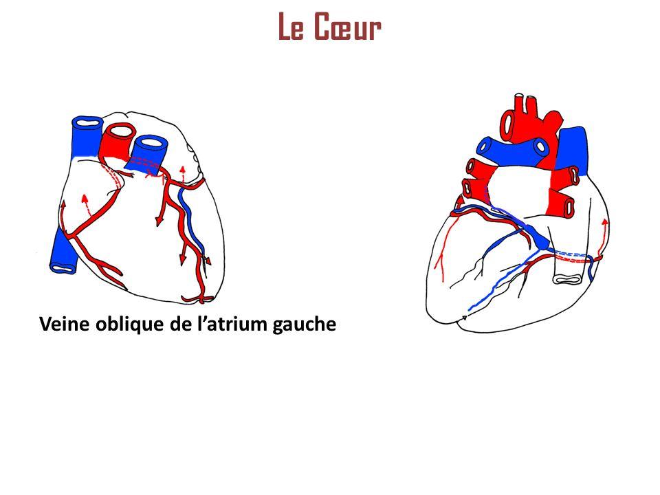 Veine oblique de latrium gauche Le Cœur