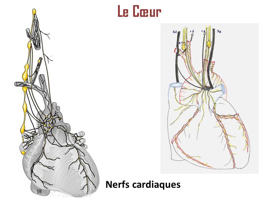 Nerfs cardiaques