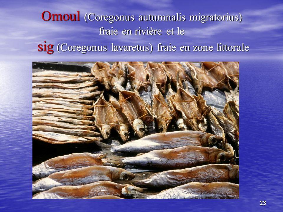 23 Omoul (Coregonus autumnalis migratorius) fraie en rivière et le sig (Coregonus lavaretus) fraie en zone littorale