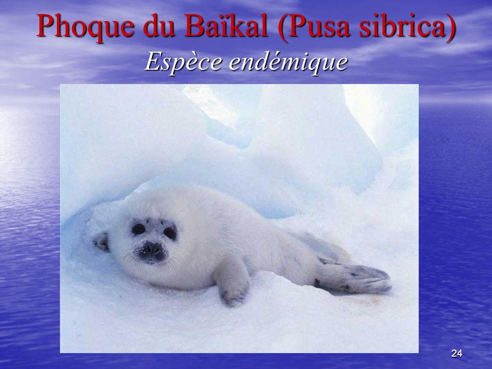 24 Phoque du Baïkal (Pusa sibrica) Espèce endémique