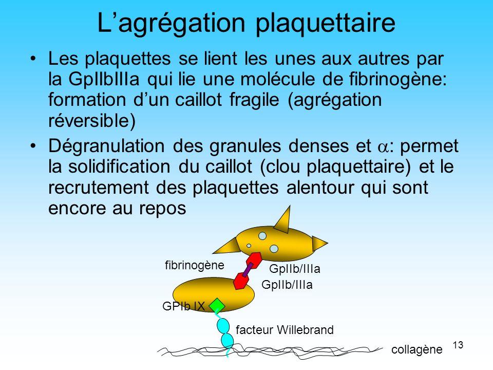 13 Lagrégation plaquettaire Les plaquettes se lient les unes aux autres par la GpIIbIIIa qui lie une molécule de fibrinogène: formation dun caillot fr