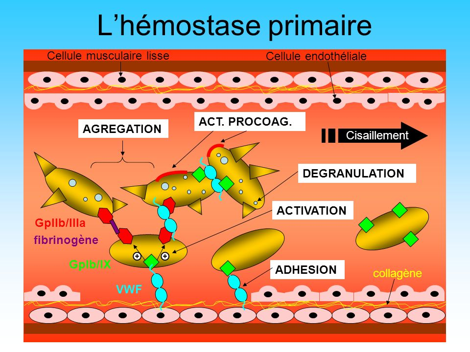 5 GpIb/IX VWF GpIIb/IIIa Cisaillement AGREGATION ADHESION collagène Lhémostase primaire DEGRANULATION fibrinogène ACTIVATION ACT. PROCOAG. Cellule mus