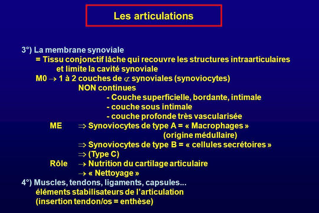 Les articulations 3°) La membrane synoviale = Tissu conjonctif lâche qui recouvre les structures intraarticulaires et limite la cavité synoviale M0 1