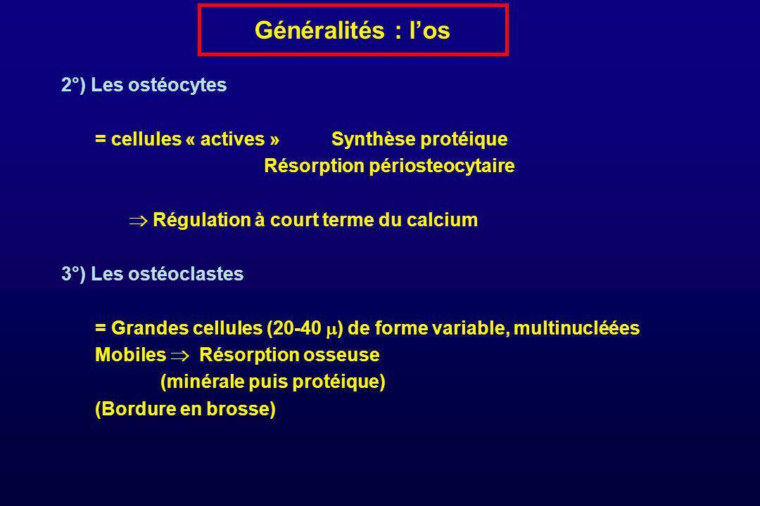 Généralités : los 2°) Les ostéocytes = cellules « actives »Synthèse protéique Résorption périosteocytaire Régulation à court terme du calcium 3°) Les