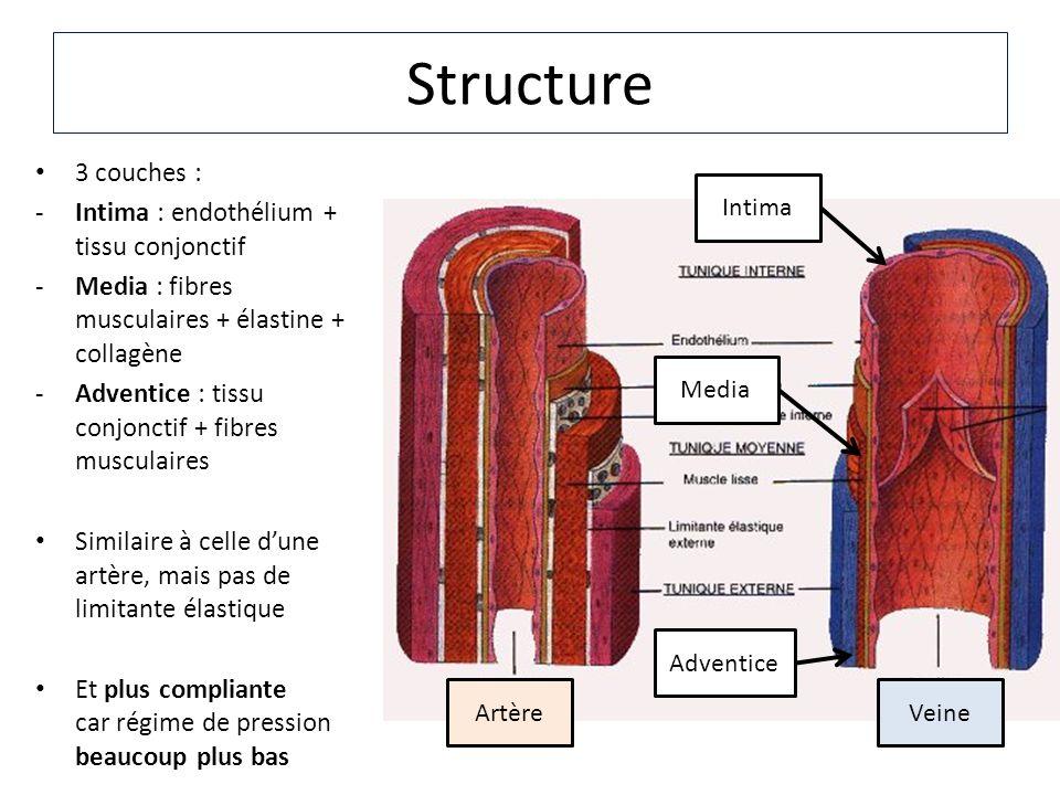 Structure 3 couches : -Intima : endothélium + tissu conjonctif -Media : fibres musculaires + élastine + collagène -Adventice : tissu conjonctif + fibr