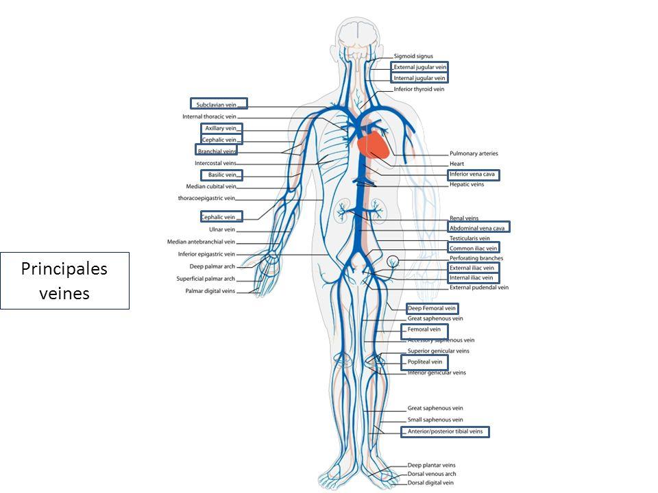 Principales veines