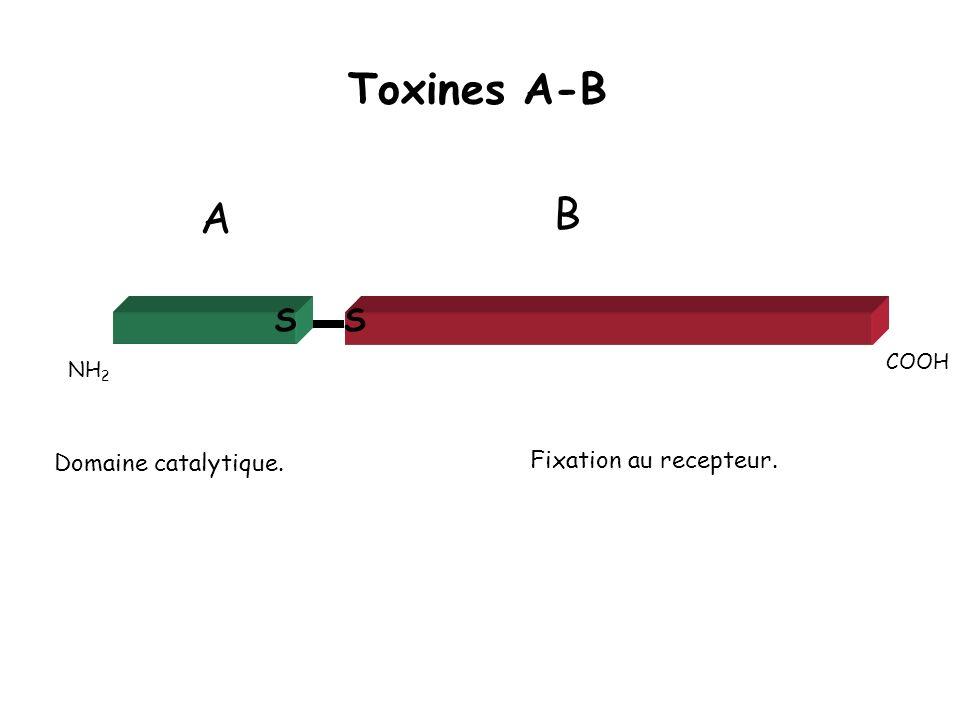 Toxines A-B NH 2 COOH Fixation au recepteur. Domaine catalytique. SS A B