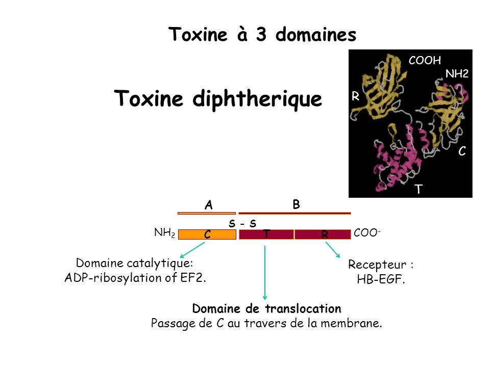COO - S - S NH 2 A B C T R Domaine catalytique: ADP-ribosylation of EF2. Domaine de translocation Passage de C au travers de la membrane. Recepteur :