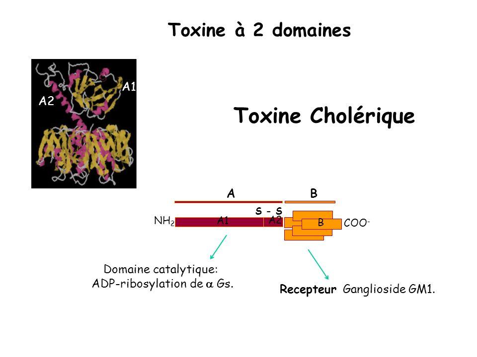 COO - NH 2 A B B A1 S - S A2 Domaine catalytique: ADP-ribosylation de Gs. Recepteur Ganglioside GM1. Toxine Cholérique A2 A1 Toxine à 2 domaines