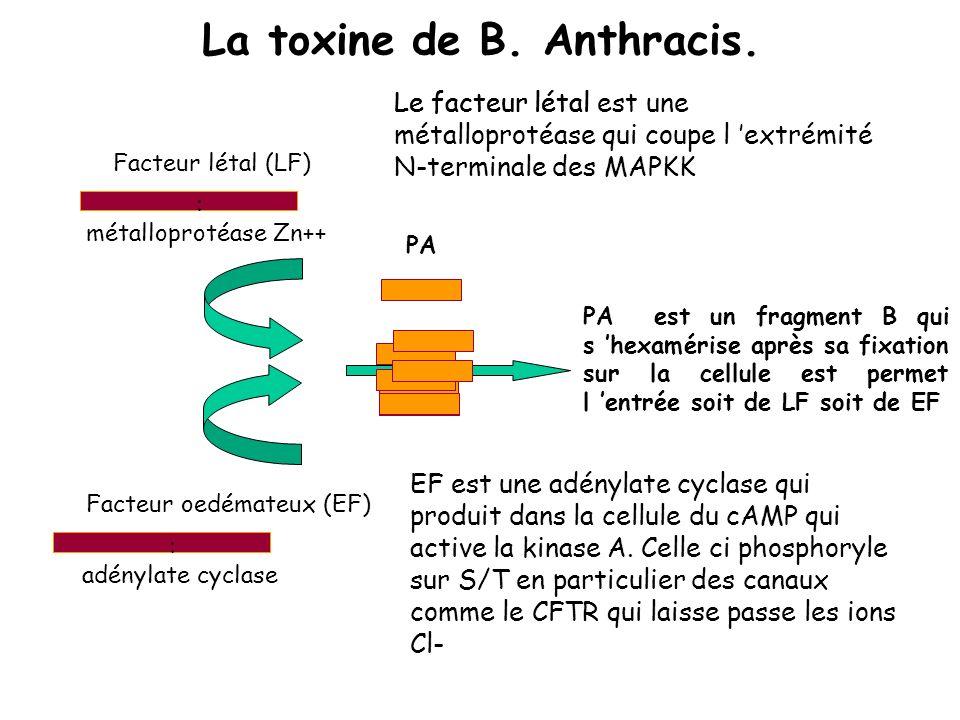 Le facteur létal La toxine de B. Anthracis. Facteur létal (LF) : métalloprotéase Zn++ EF est une adénylate cyclase qui produit dans la cellule du cAMP