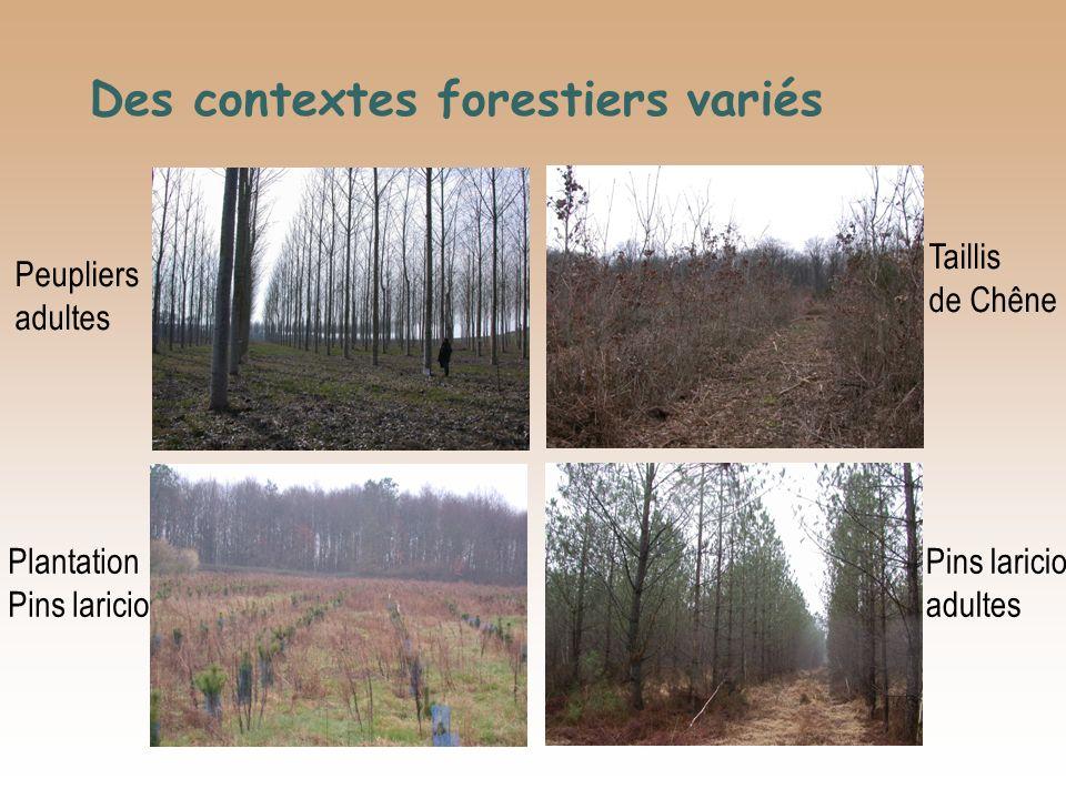 Des contextes forestiers variés Taillis de Chêne Pins laricio adultes Plantation Pins laricio Peupliers adultes