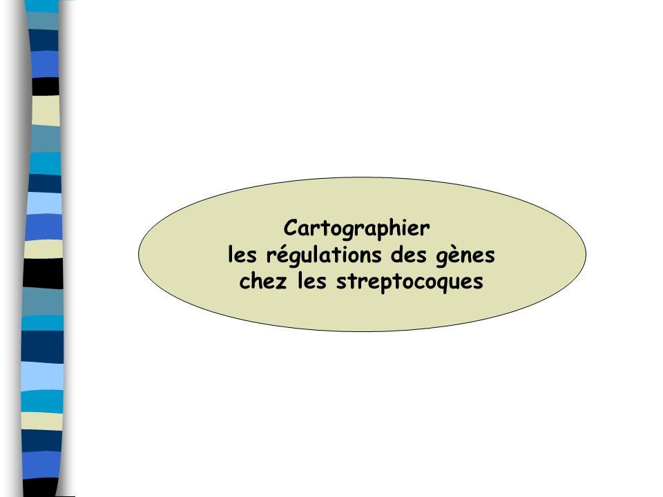 Cartographier les régulations des gènes chez les streptocoques