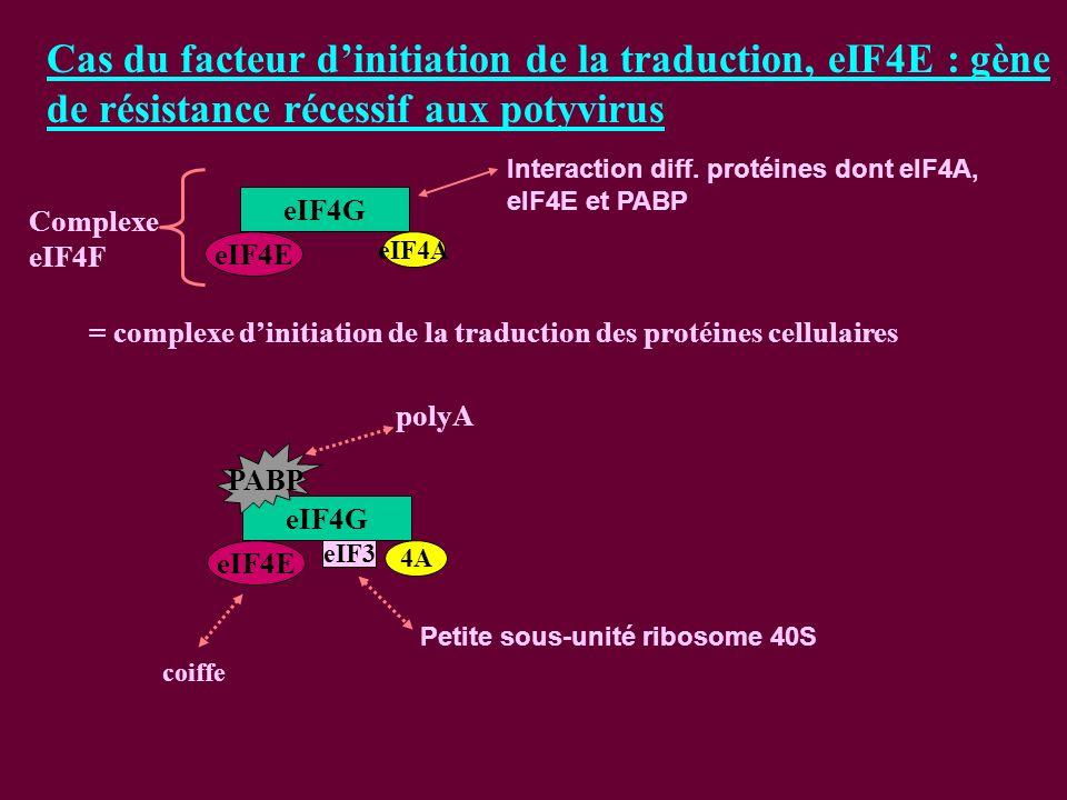 Cas du facteur dinitiation de la traduction, eIF4E : gène de résistance récessif aux potyvirus eIF4G eIF4E eIF4A Complexe eIF4F = complexe dinitiation de la traduction des protéines cellulaires Interaction diff.