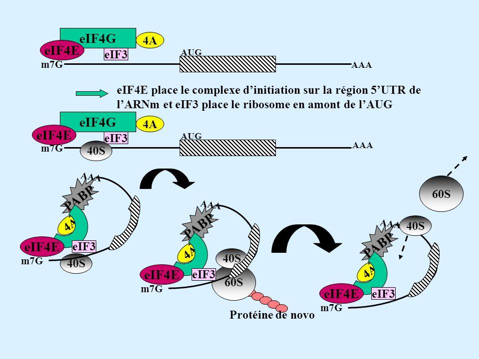eIF4E place le complexe dinitiation sur la région 5UTR de lARNm et eIF3 place le ribosome en amont de lAUG eIF4G eIF4E 4A eIF3 m7G AUG AAA eIF4G eIF4E 4A eIF3 m7G AUG AAA 40S 4A PABP eIF4E eIF3 m7G 40S AAA 4A PABP eIF4E eIF3 m7G AAA 60S 40S 60S 4A PABP eIF4E eIF3 m7G 40S AAA Protéine de novo