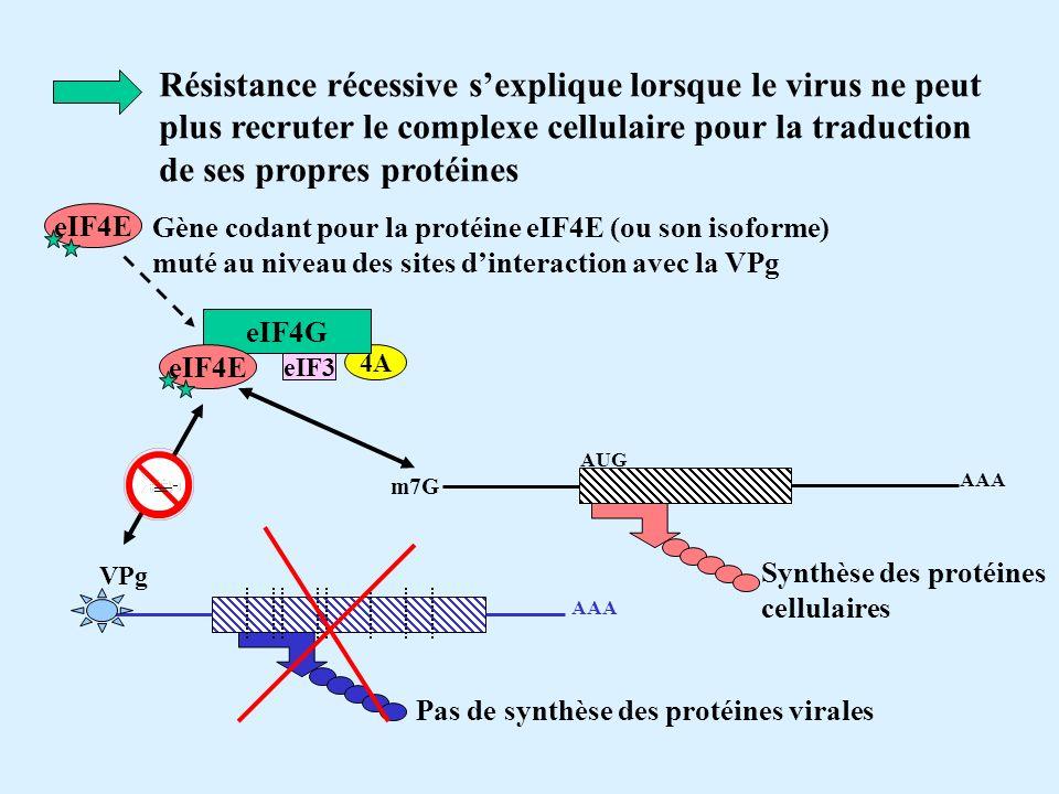 Résistance récessive sexplique lorsque le virus ne peut plus recruter le complexe cellulaire pour la traduction de ses propres protéines 4A eIF4G eIF4E eIF3 eIF4E Gène codant pour la protéine eIF4E (ou son isoforme) muté au niveau des sites dinteraction avec la VPg m7G AUG AAA Synthèse des protéines cellulaires VPg AAA Pas de synthèse des protéines virales