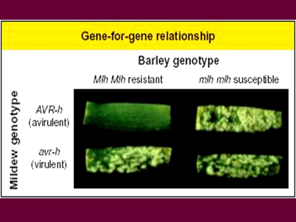 Résistance ou interaction incompatible liée à la reconnaissance précoce et linteraction entre le produit du gène R et le produit du gène davirulence ~ modèle « éliciteur / récepteur » éliciteur, produit par le pathogène et reconnue par la plante hôte Voie de transduction de signaux Gène Avr Pathogène Hôte Gène R récepteur Membrane plasmique, cellule hôte