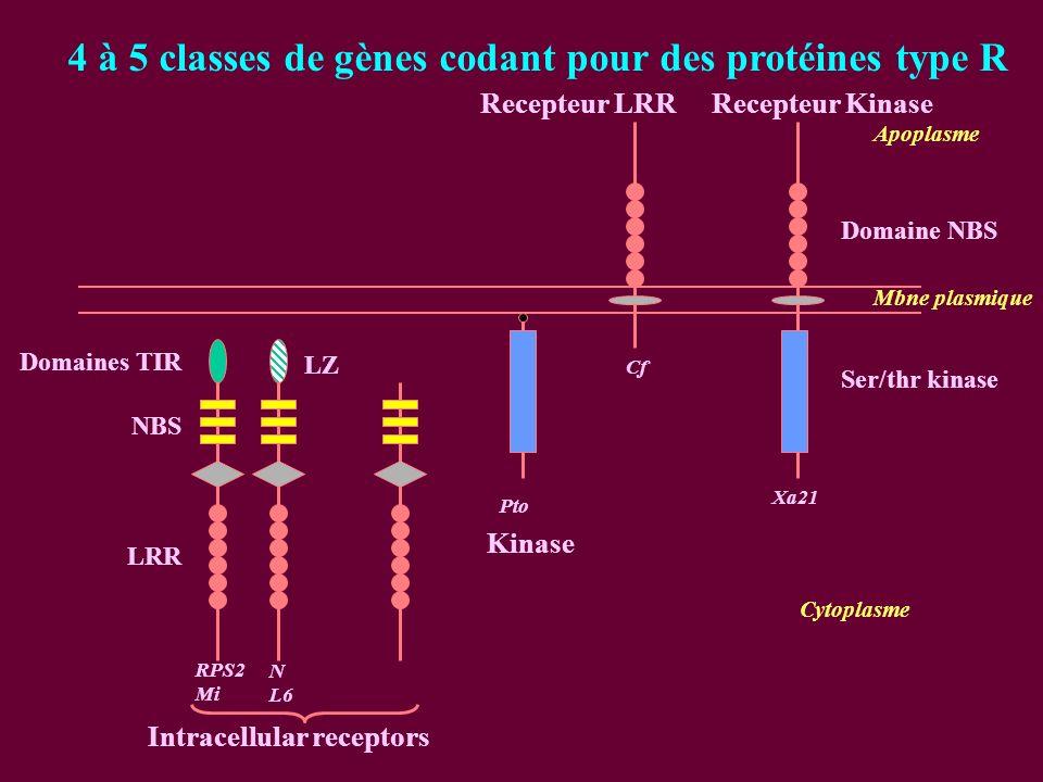 Cytoplasme Mbne plasmique 4 à 5 classes de gènes codant pour des protéines type R Domaines TIR NBS LRR RPS2 Mi LZ N L6 Intracellular receptors Cf Recepteur LRR Apoplasme Ser/thr kinase Domaine NBS Xa21 Recepteur Kinase Pto Kinase