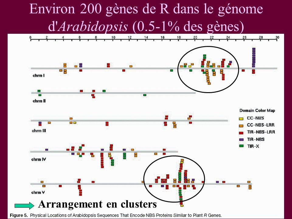 Environ 200 gènes de R dans le génome d Arabidopsis (0.5-1% des gènes) Arrangement en clusters
