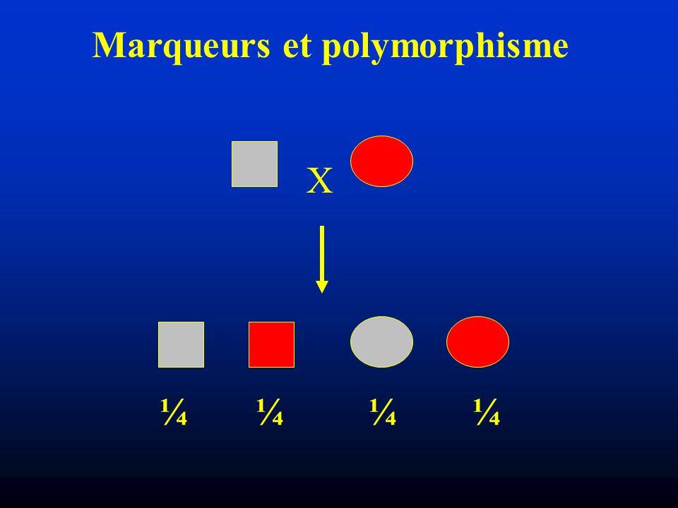 Marqueurs et polymorphisme X 45% 5% 5% 45% Distance forme-couleur: 10 cM