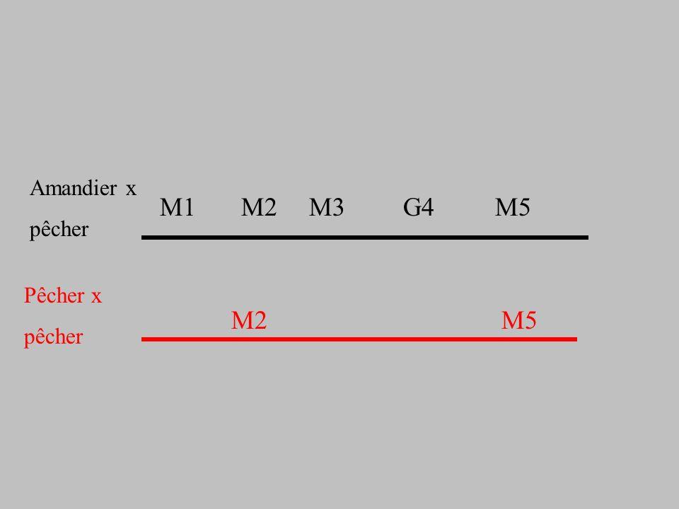M2 M5 M1 M2 M3 G4 M5 Amandier x pêcher Pêcher x pêcher