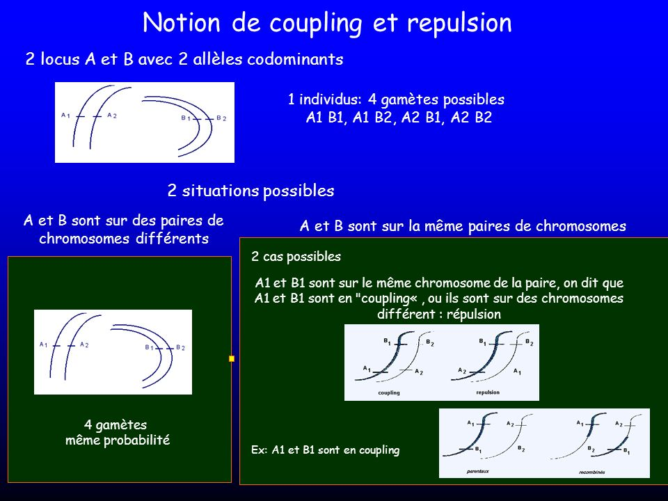 Notion de coupling et repulsion 2 locus A et B avec 2 allèles codominants 1 individus: 4 gamètes possibles A1 B1, A1 B2, A2 B1, A2 B2 2 situations pos