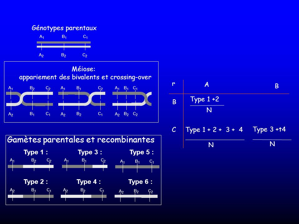 A2A2 B2B2 C2C2 Génotypes parentaux A1A1 B2B2 A2A2 B1B1 C2C2 C1C1 A1A1 B1B1 A2A2 B2B2 C2C2 C1C1 A1A1 B1B1 A2A2 B2B2 C1C1 C2C2 Méiose: appariement des b