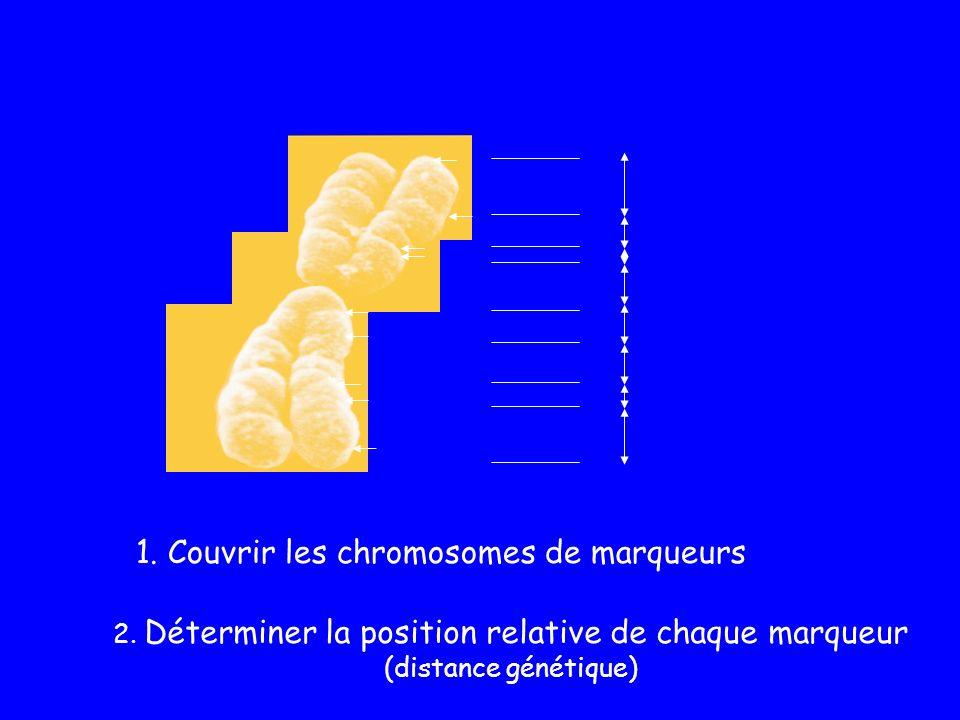 2. Déterminer la position relative de chaque marqueur (distance génétique) 1. Couvrir les chromosomes de marqueurs