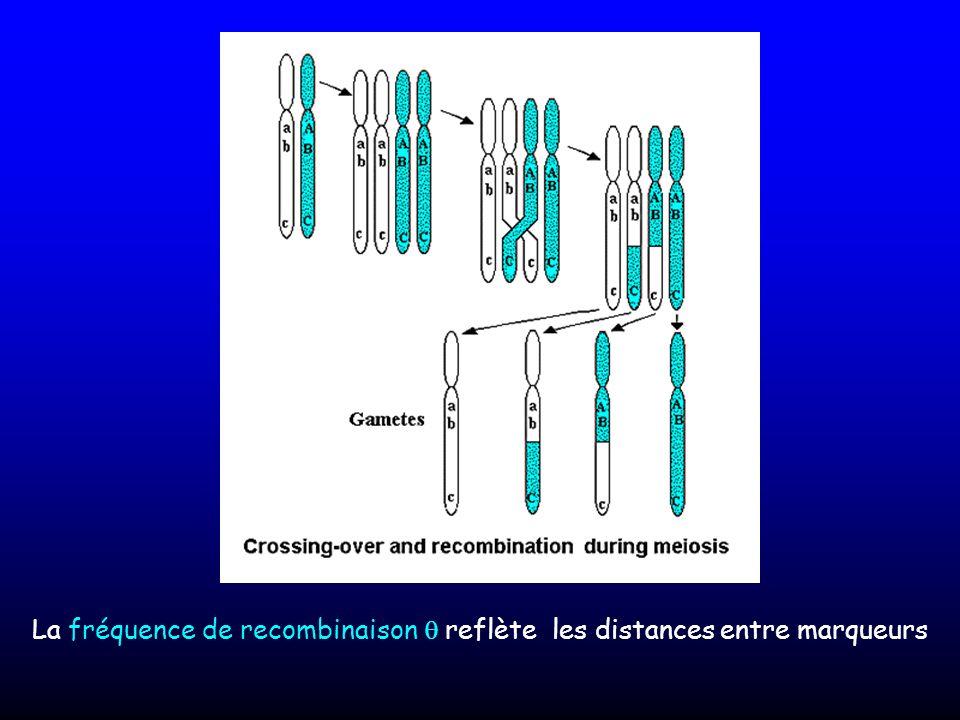 La fréquence de recombinaison reflète les distances entre marqueurs