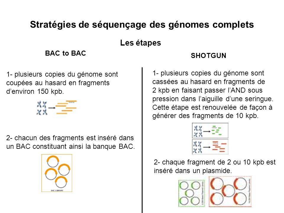 Stratégies de séquençage des génomes complets Les étapes 1- plusieurs copies du génome sont coupées au hasard en fragments denviron 150 kpb. 2- chacun