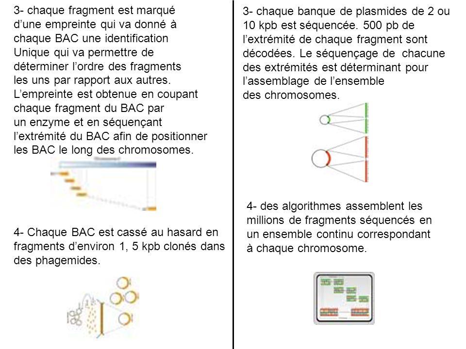3- chaque fragment est marqué dune empreinte qui va donné à chaque BAC une identification Unique qui va permettre de déterminer lordre des fragments l