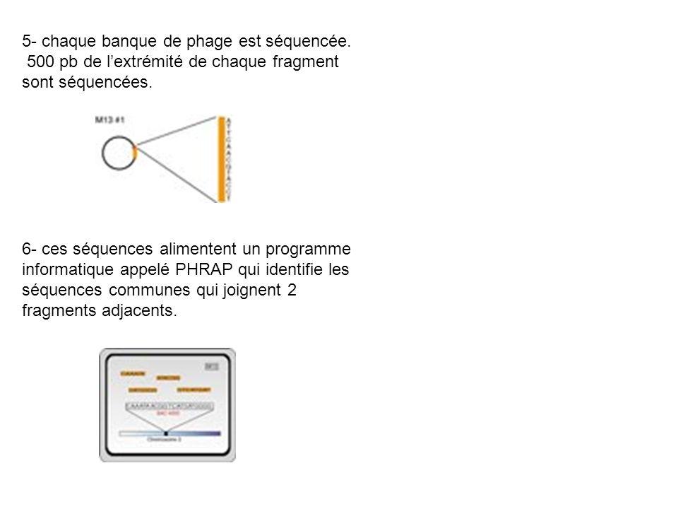 5- chaque banque de phage est séquencée. 500 pb de lextrémité de chaque fragment sont séquencées. 6- ces séquences alimentent un programme informatiqu