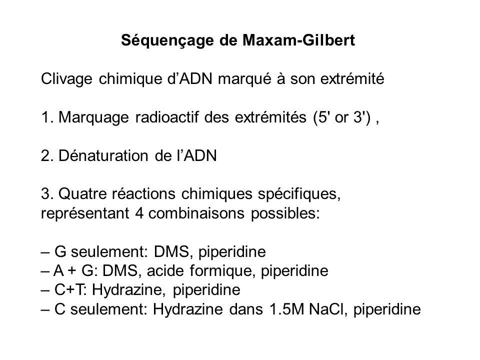 Séquençage de Maxam-Gilbert Clivage chimique dADN marqué à son extrémité 1. Marquage radioactif des extrémités (5' or 3'), 2. Dénaturation de lADN 3.