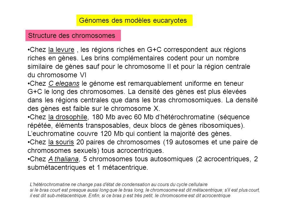 Génomes des modèles eucaryotes Structure des chromosomes Chez la levure, les régions riches en G+C correspondent aux régions riches en gènes. Les brin