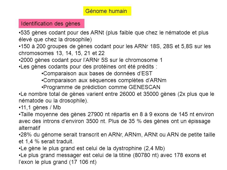 Génome humain Identification des gènes 535 gènes codant pour des ARNt (plus faible que chez le nématode et plus élevé que chez la drosophile) 150 à 20