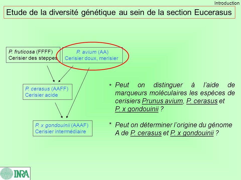 Etude de la diversité génétique au sein de la section Eucerasus Introduction P. fruticosa (FFFF) Cerisier des steppes P. x gondouinii (AAAF) Cerisier