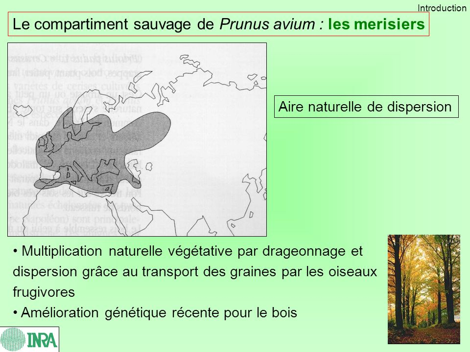 Le compartiment sauvage de Prunus avium : les merisiers Multiplication naturelle végétative par drageonnage et dispersion grâce au transport des grain