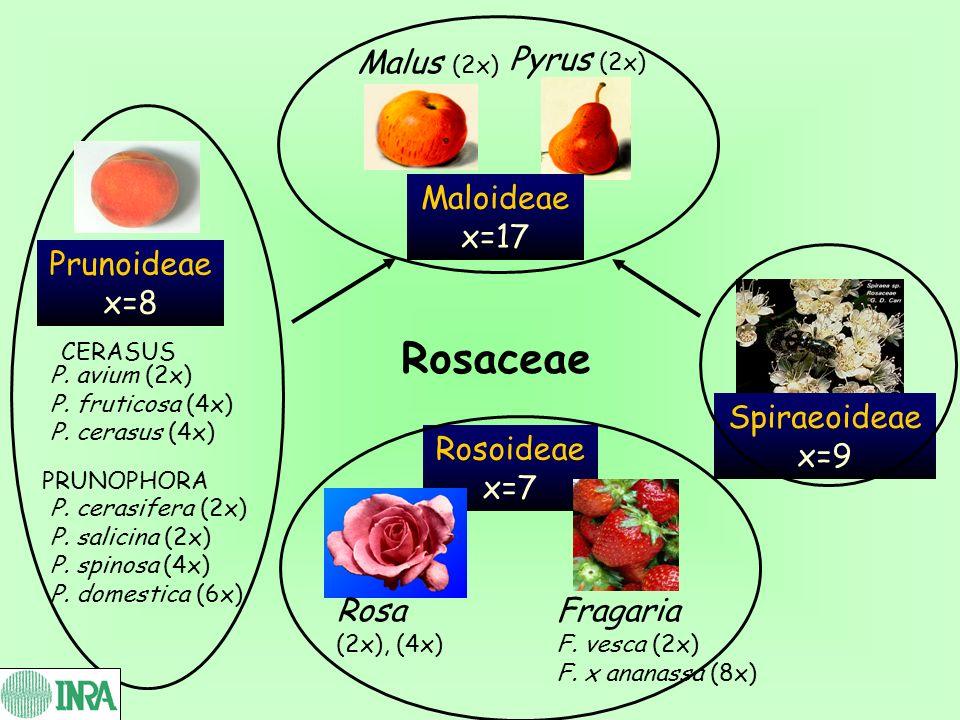 Rosaceae Malus (2x) Pyrus (2x) Maloideae x=17 Spiraeoideae x=9 Rosoideae x=7 Rosa (2x), (4x) Fragaria F. vesca (2x) F. x ananassa (8x) Prunoideae x=8