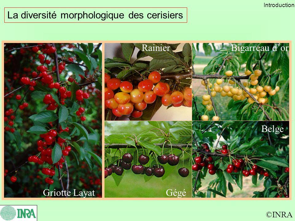 La diversité morphologique des cerisiers ©INRA Griotte Layat Belge Bigarreau dorRainier Gégé Introduction