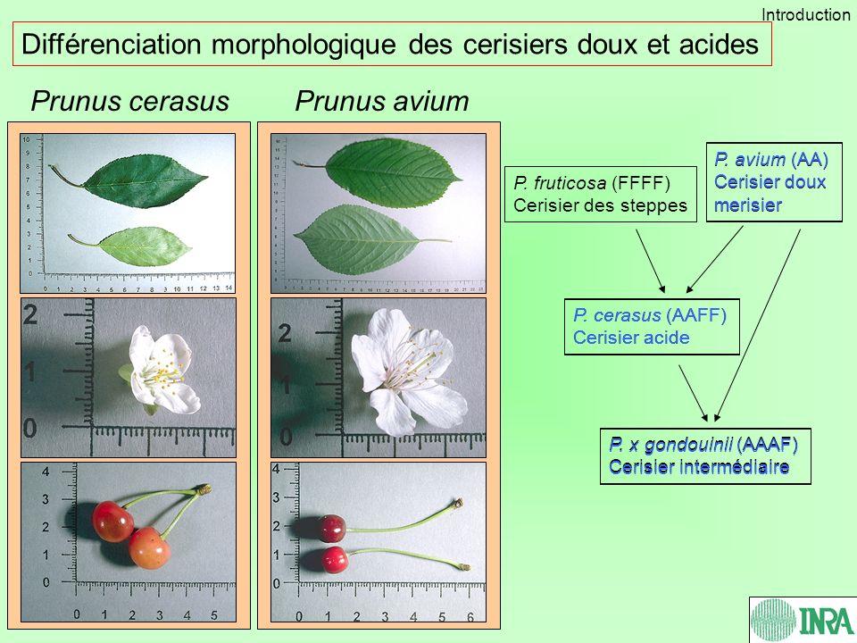 Prunus aviumPrunus cerasus Différenciation morphologique des cerisiers doux et acides P. avium (AA) Cerisier doux merisier P. fruticosa (FFFF) Cerisie