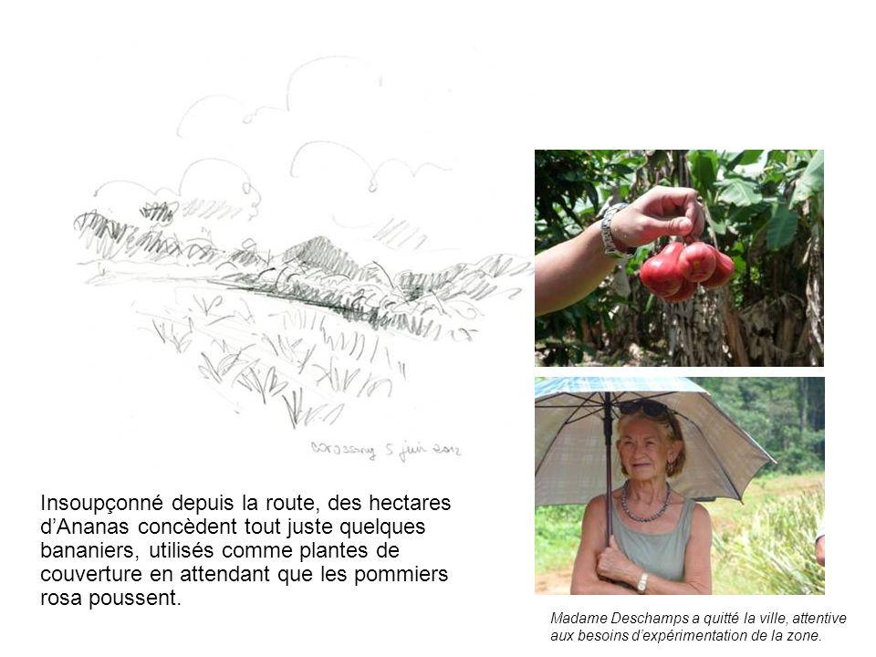 Insoupçonné depuis la route, des hectares dAnanas concèdent tout juste quelques bananiers, utilisés comme plantes de couverture en attendant que les pommiers rosa poussent.