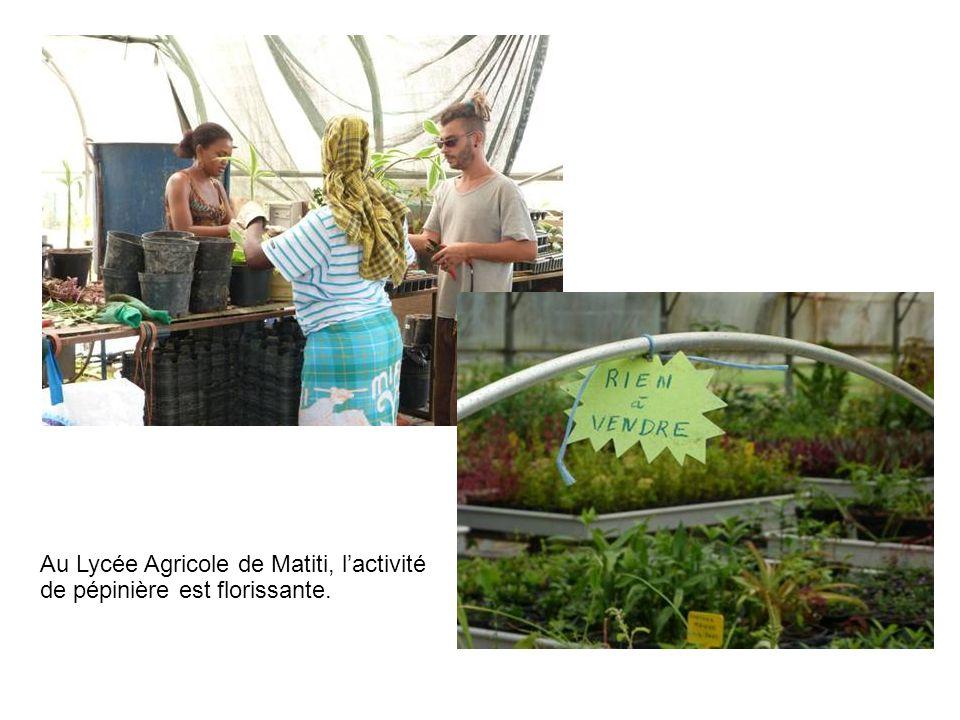 Au Lycée Agricole de Matiti, lactivité de pépinière est florissante.