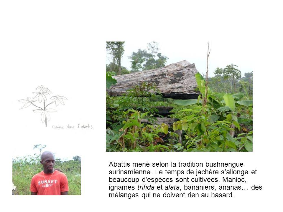 Abattis mené selon la tradition bushnengue surinamienne. Le temps de jachère sallonge et beaucoup despèces sont cultivées. Manioc, ignames trifida et