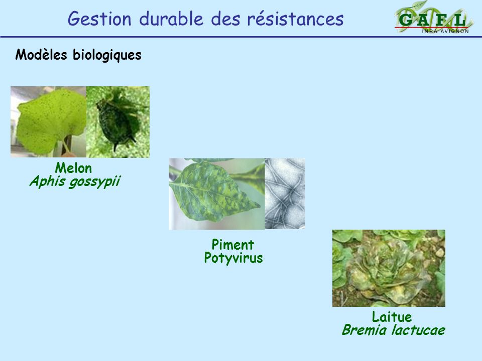 Gestion durable des résistances Modèles biologiques Melon Aphis gossypii Laitue Bremia lactucae Piment Potyvirus