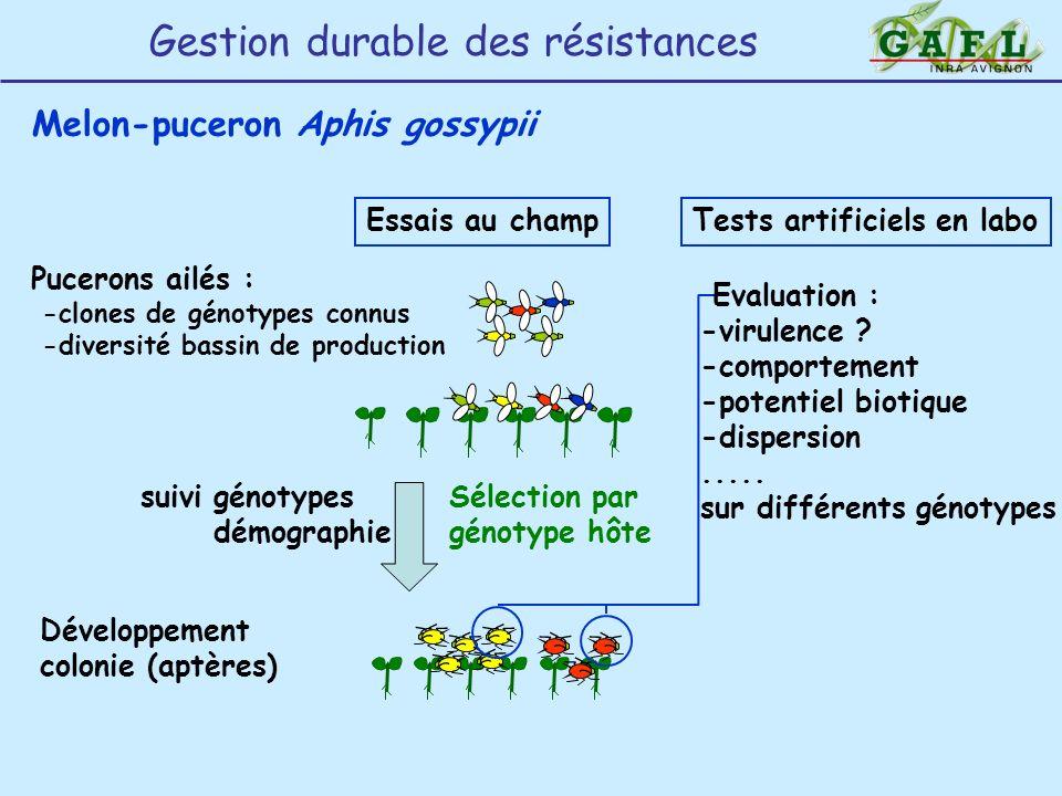 Melon-puceron Aphis gossypii Pucerons ailés : -clones de génotypes connus -diversité bassin de production Essais au champ Sélection par génotype hôte