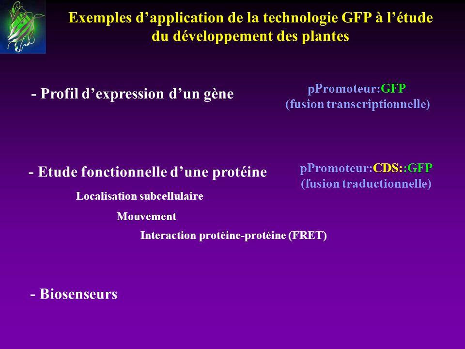 Exemples dapplication de la technologie GFP à létude du développement des plantes - Profil dexpression dun gène Localisation subcellulaire Interaction