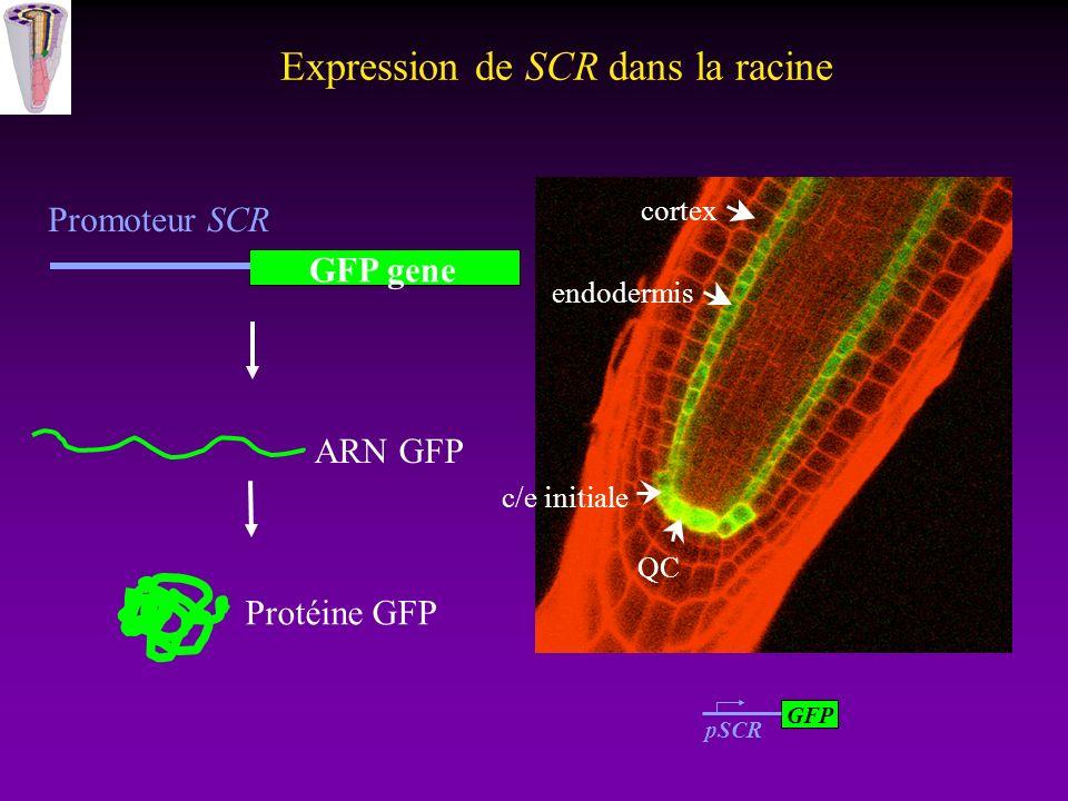 Expression de SCR dans la racine GFP gene Promoteur SCR ARN GFP Protéine GFP GFP pSCR QC endodermis cortex c/e initiale