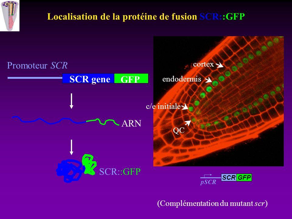Localisation de la protéine de fusion SCR::GFP SCR gene ARN SCR::GFP Promoteur SCR GFP QC endodermis cortex c/e initiale pSCR GFPSCR (Complémentation