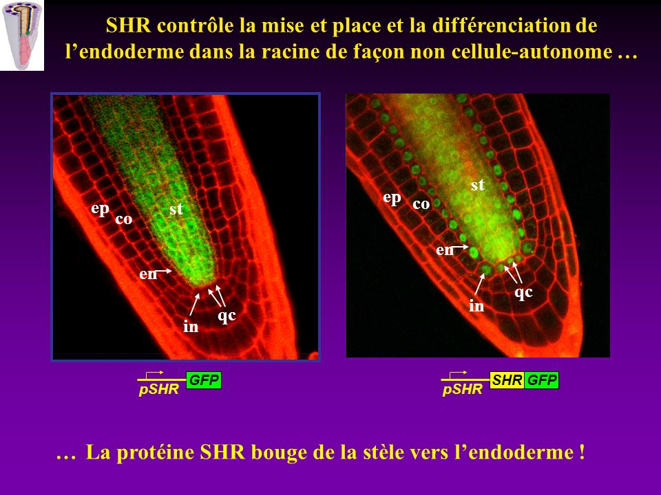 pSCR:GFP Plantules in vitro Récolte pointe racinaire (15000) Digestion paroi Triage par fluorescence des protoplastes GFP+ Extraction ARN Amplification Marquage des sondes Hybridation Puce Affymetrix ATH1 25K gene arrays Analyse du transcriptome de lendoderme racinaire 300 000 protoplastes