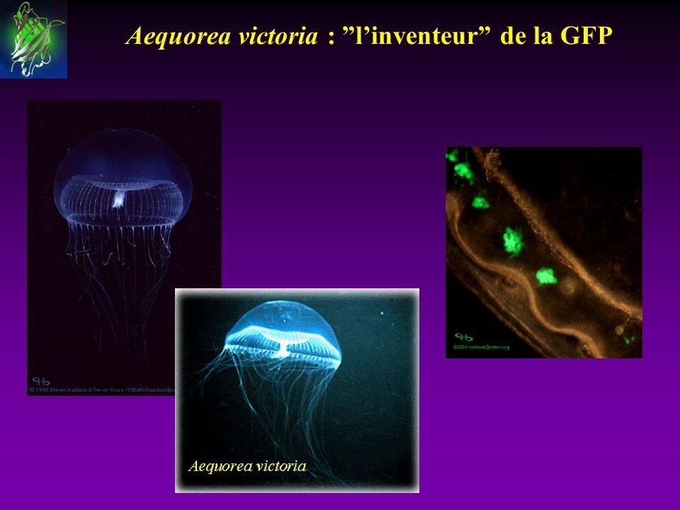 Aequorea victoria : linventeur de la GFP