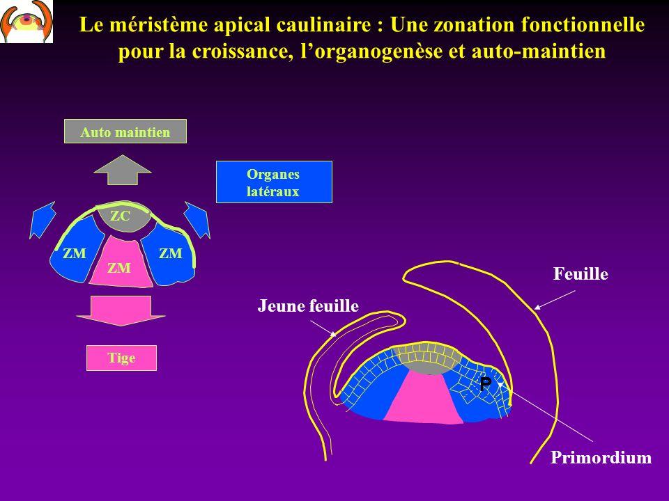 Le méristème apical caulinaire : Une zonation fonctionnelle pour la croissance, lorganogenèse et auto-maintien ZC ZM Auto maintien Tige Organes latéra